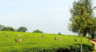 Tea Plantation on 68 Acres for Sale in Fort Portal – Shs 880 Million