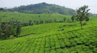 Tea Estate for Sale in Uganda Fort Portal – USD 25M