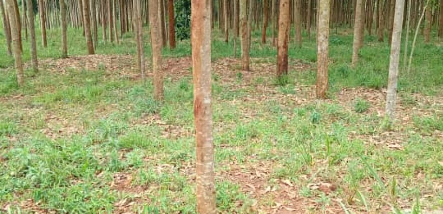 Trees on sale in Ssissa at shs 90,000,000 per acre